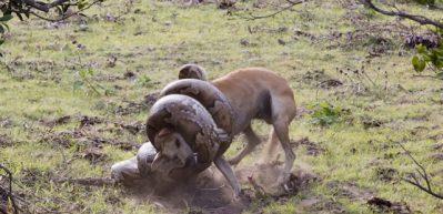 Dev pitonla köpeğin tüyler ürperten savaşı!