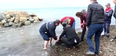 Suni teneffüsle müdahale edilen yaralı yunus kurtarılamadı