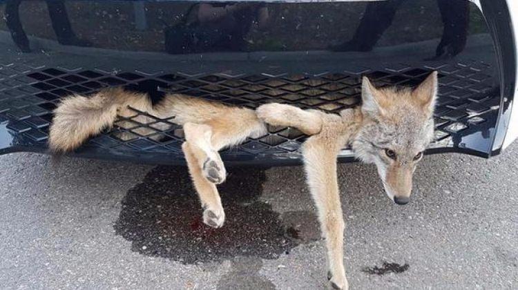 Arabasının altına çakal sıkıştı!
