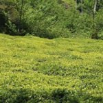 ÇAYKUR'da yaş çay bedeli ödemelerine başladı